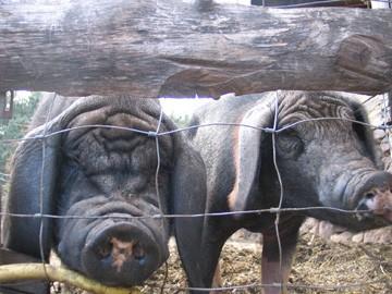 medium_musee-vivant-du-cochon-les-sielves-chambonas-les-vans-1-360.jpg
